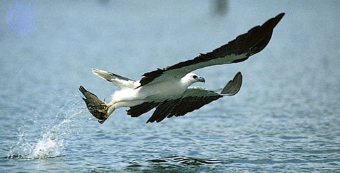 White-bellied Sea Eagle - Click to go back