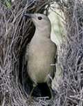 Great Bowerbird - Click for enlargement